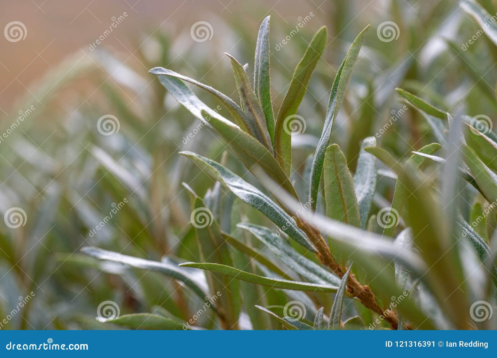 Rhamnoides van duindoornhippophae gebladerte