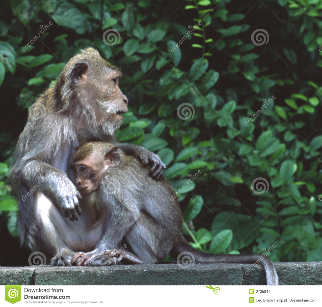 Rhesus Macaque Monkeys Indonesia