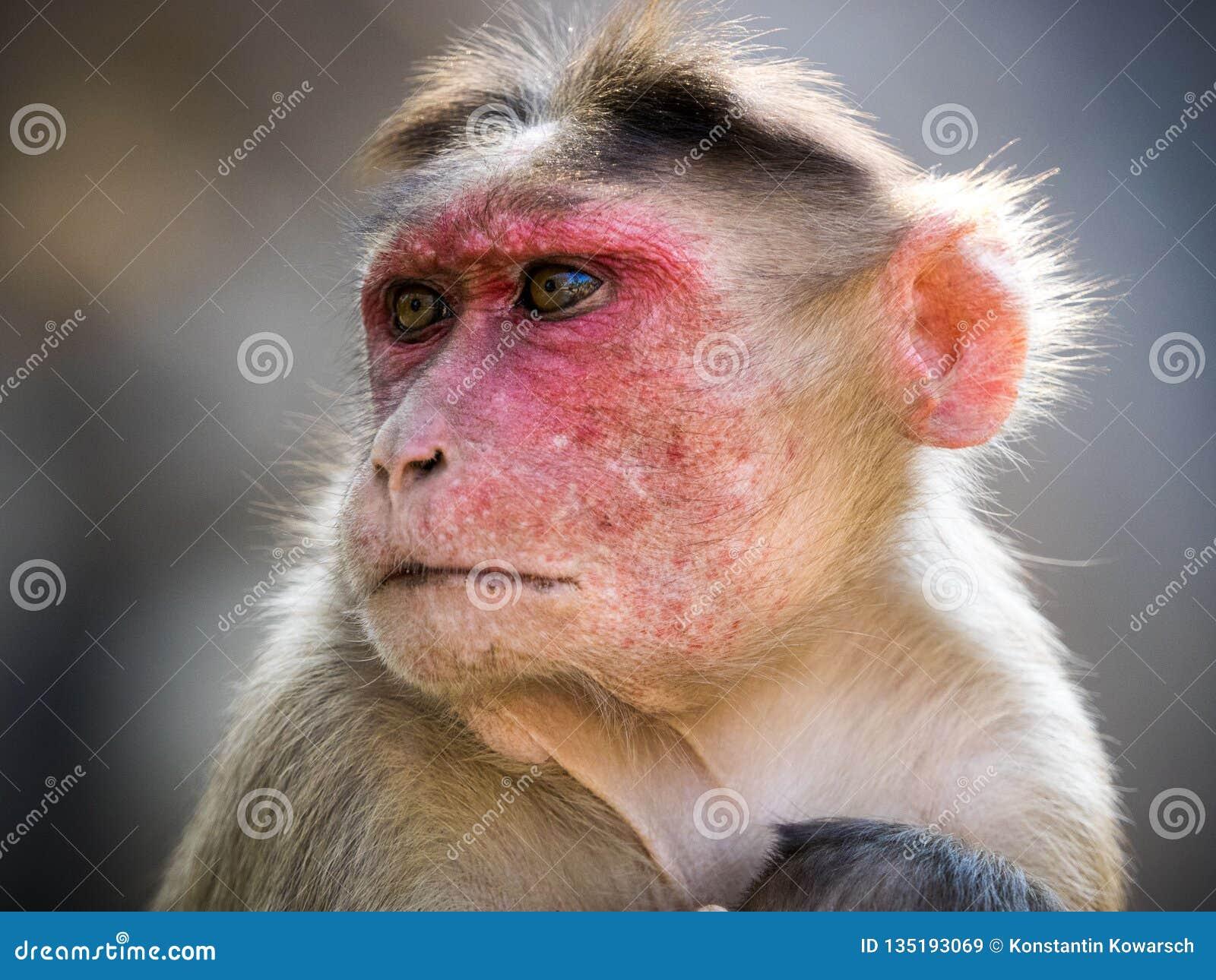 Rhesus monkey in india portrait