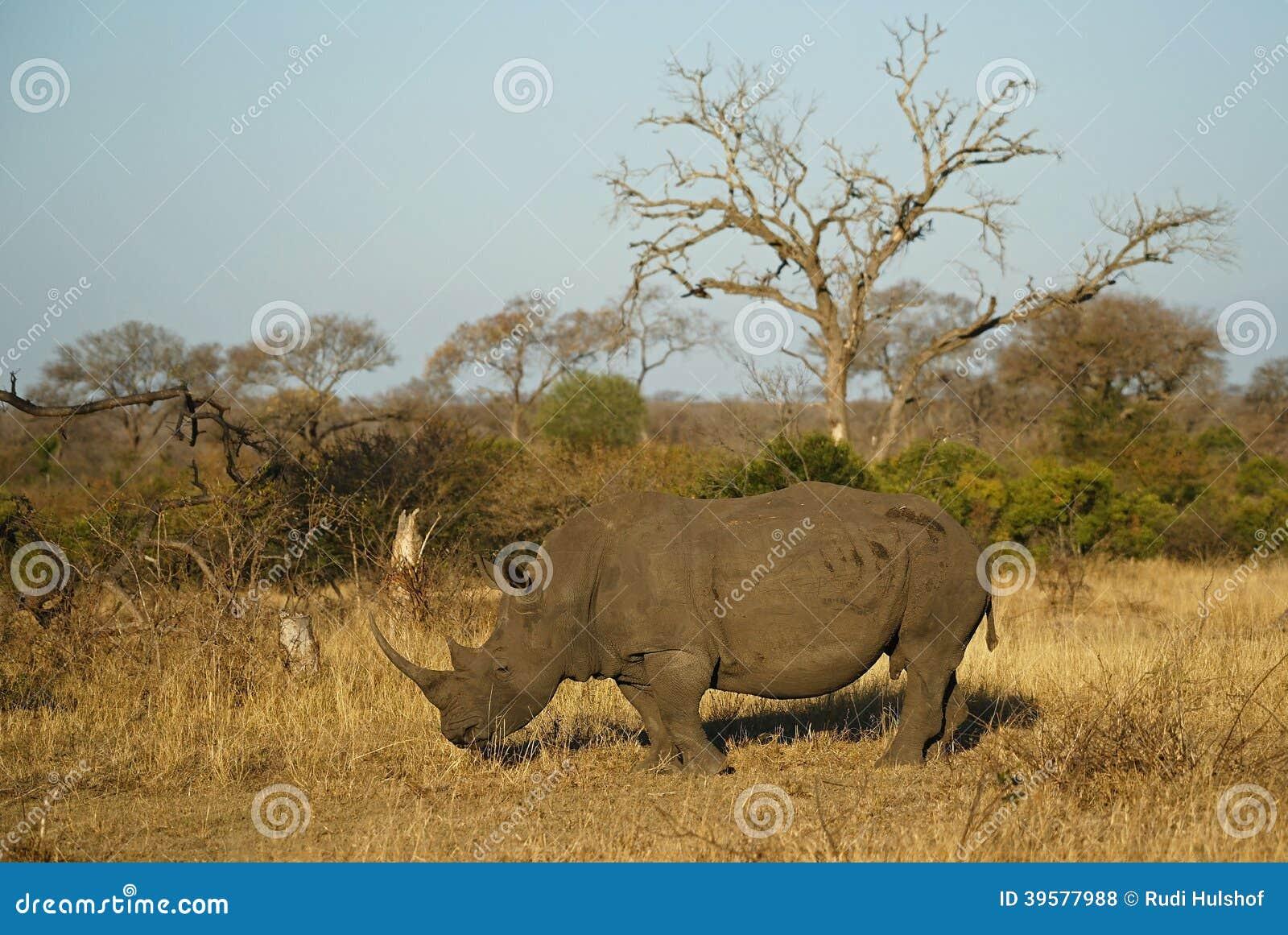 Rhino In African Environment Stock Photo - Image of grazer