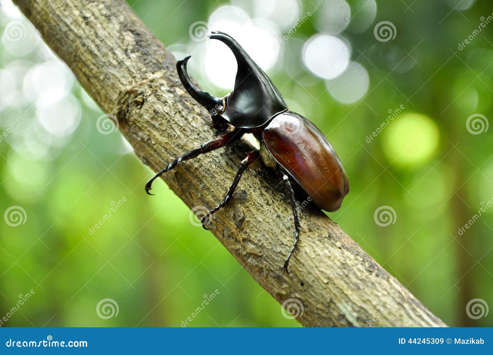Rhino Beetle