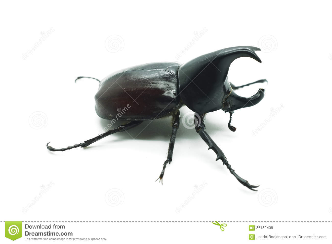 Download Rhino big horn beetle bug stock photo. Image of claw - 56150438
