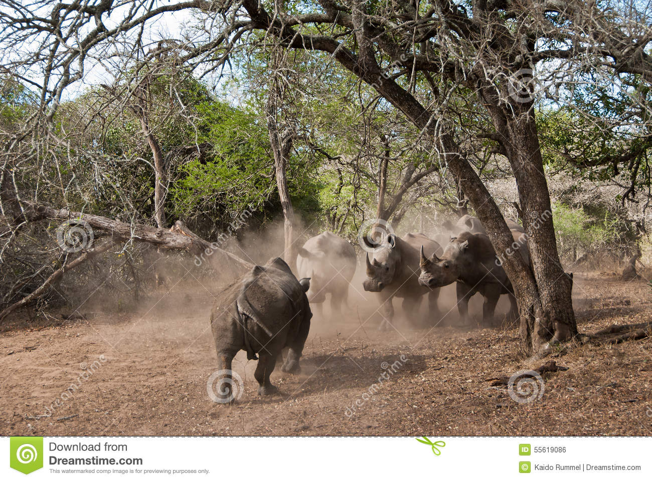 Rhino charge stock photo  Image of environment, endangered
