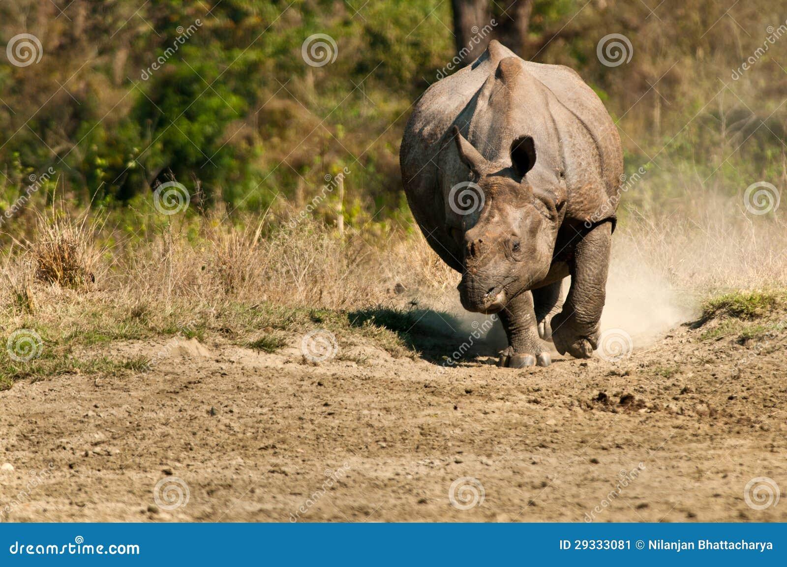 Rhino charging stock image  Image of grassland, grass - 29333081