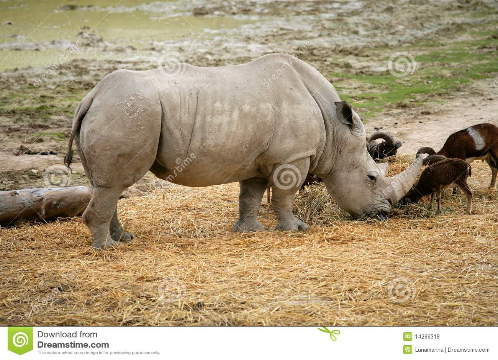 Rhino eating african rhinoceros stand up