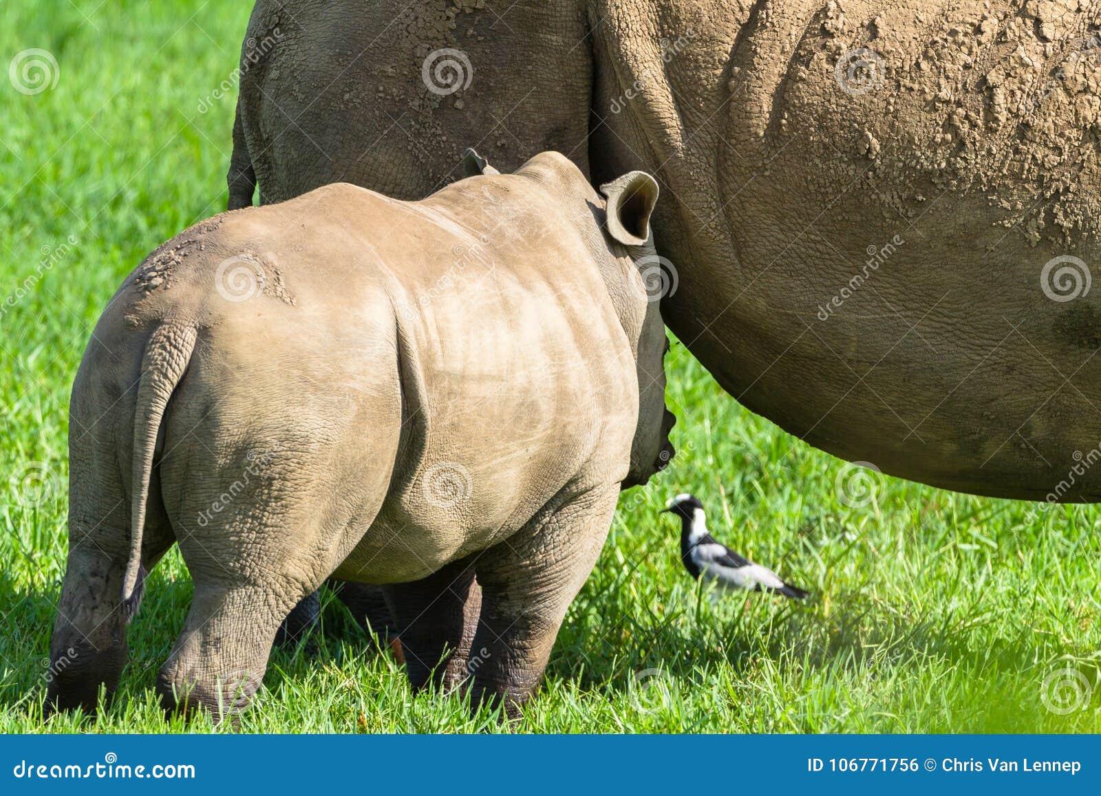 Rhino Newborn Calf Feeding stock photo  Image of wilderness