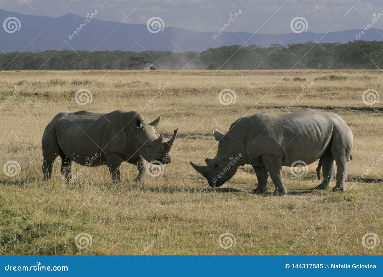 Rhinocéros blanc africain de paires, rhinocéros place-labié, lac Nakuru, Kenya