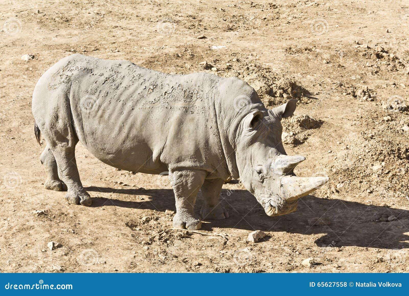 Rhinocéros blanc dans le sauvage