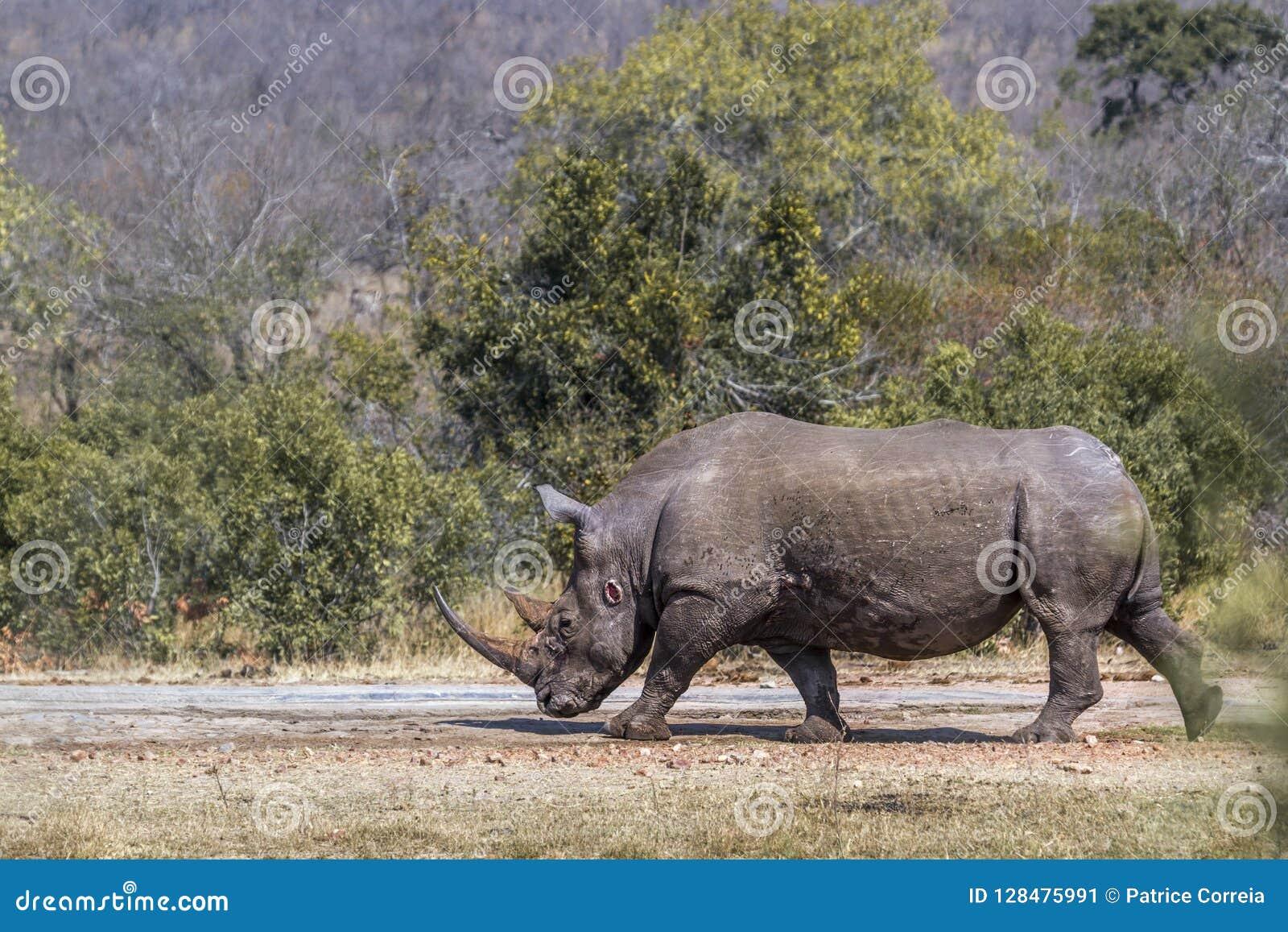Rhinocéros blanc du sud en parc national de Kruger, Afrique du Sud
