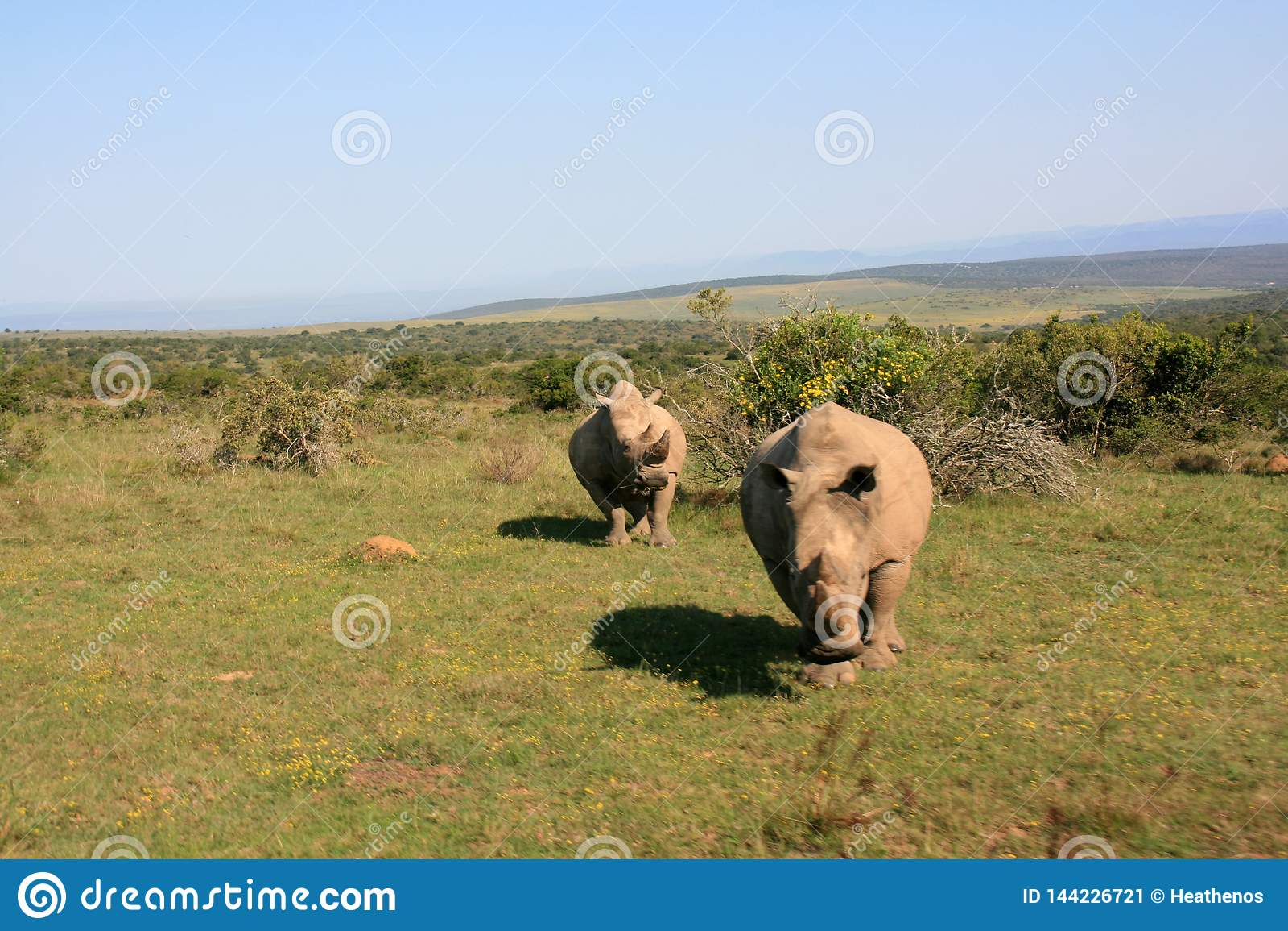 Rhinocéros blanc masculin de remplissage avec le rhinocéros femelle à l arrière-plan