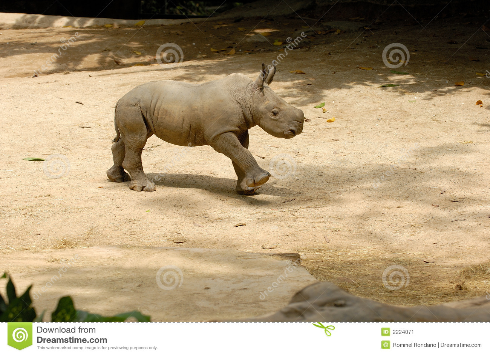 Rhinocéros de chéri