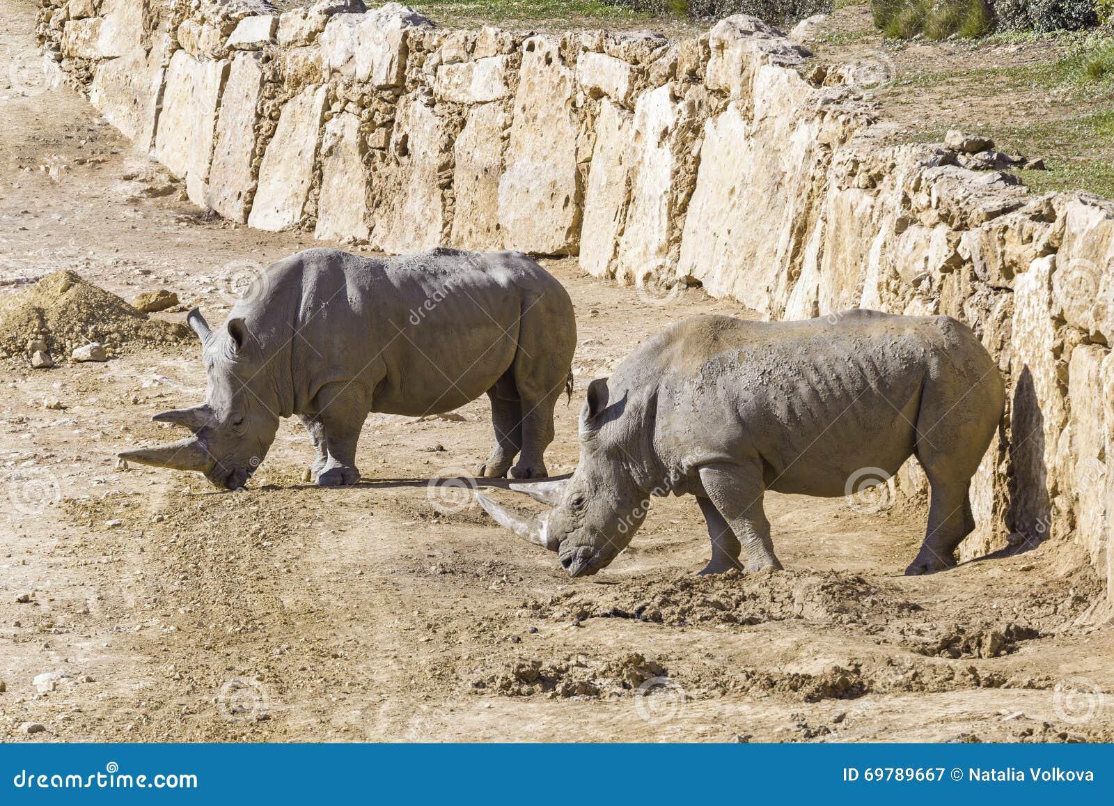 Rhinocéros deux blanc dans le sauvage