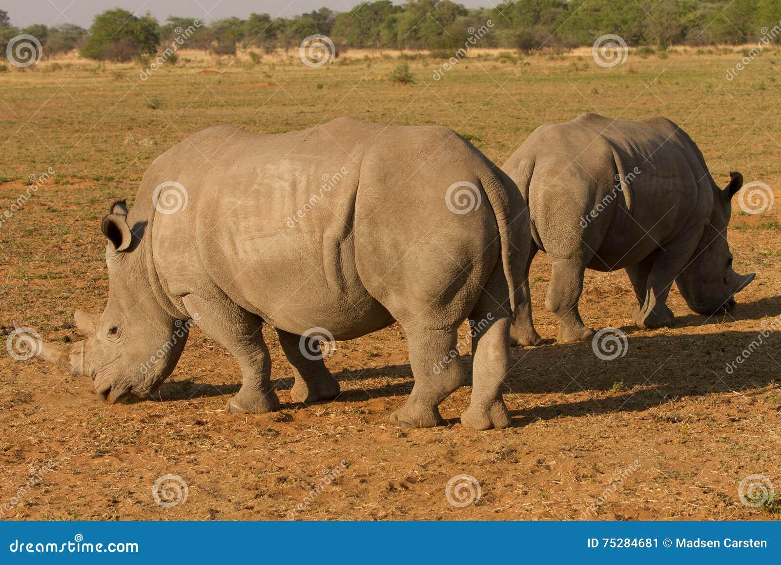 Rhinocéros en Afrique