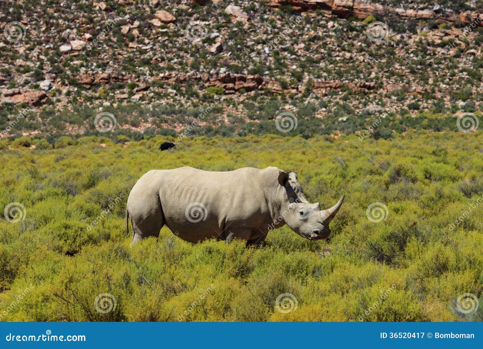 Rhinocéros en parc national de Kruger