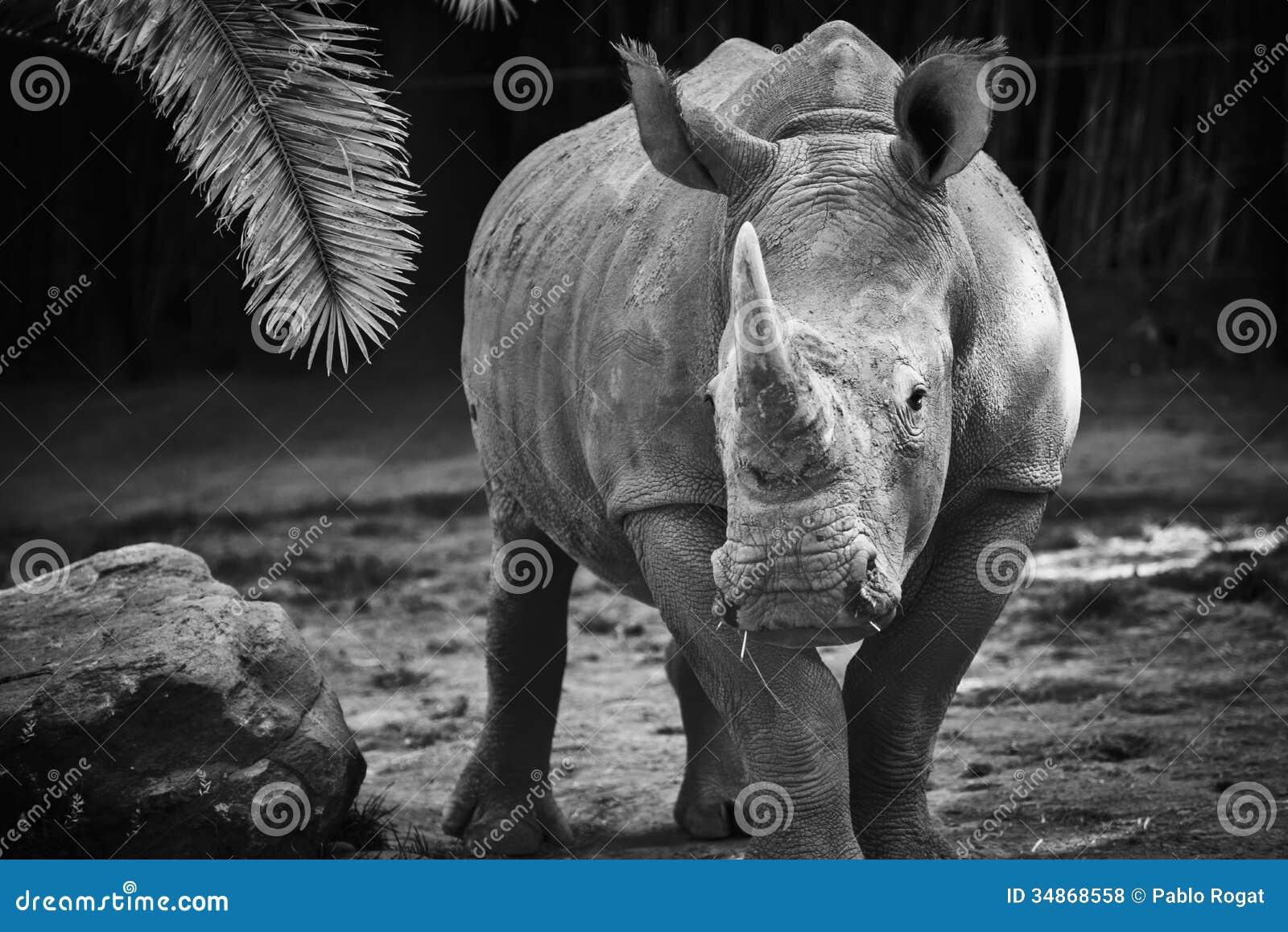 rhinoc ros noir et blanc photo stock image du safari 34868558. Black Bedroom Furniture Sets. Home Design Ideas