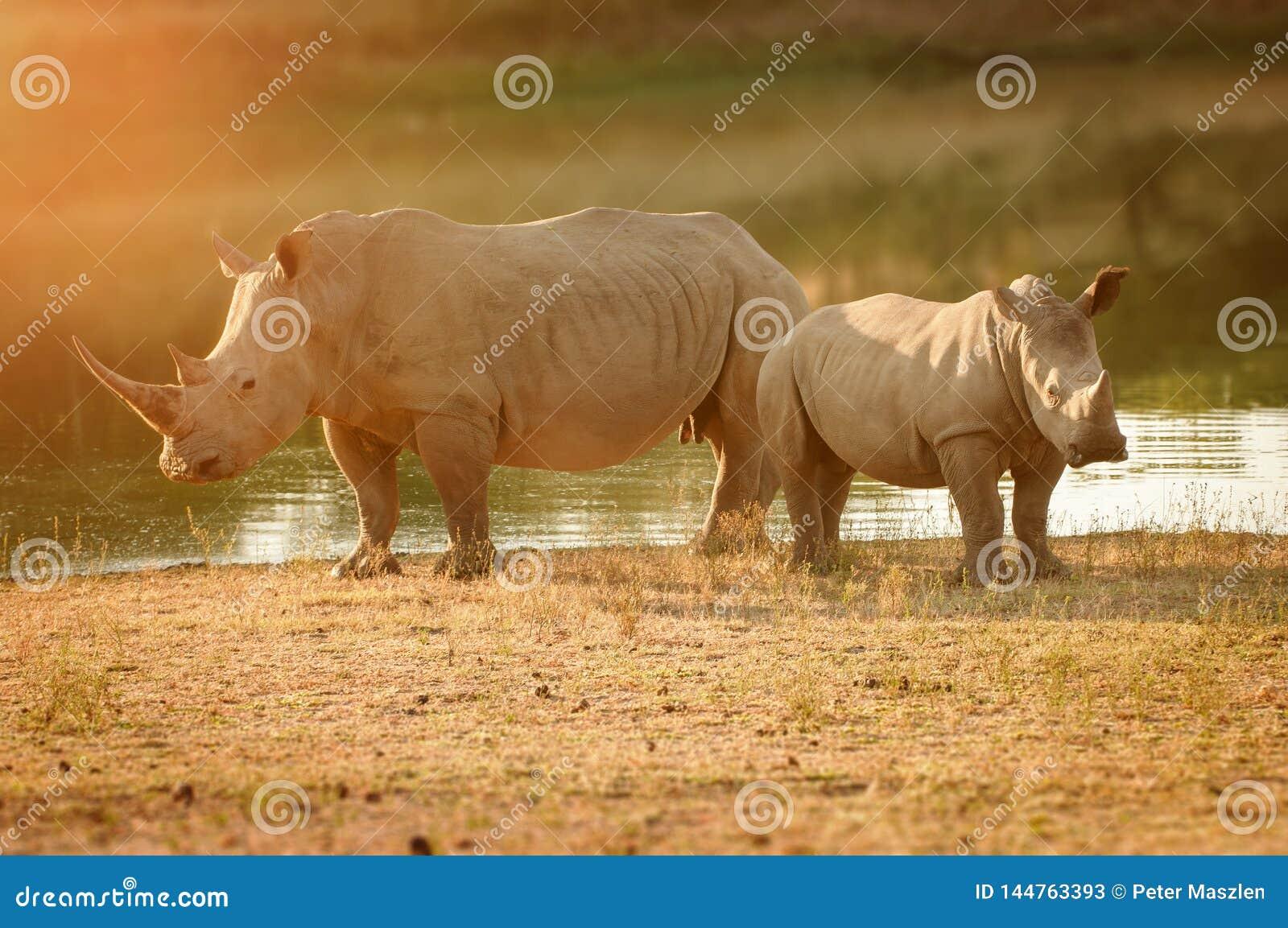 Rhinoc?ros blanc avec le veau en Afrique du Sud