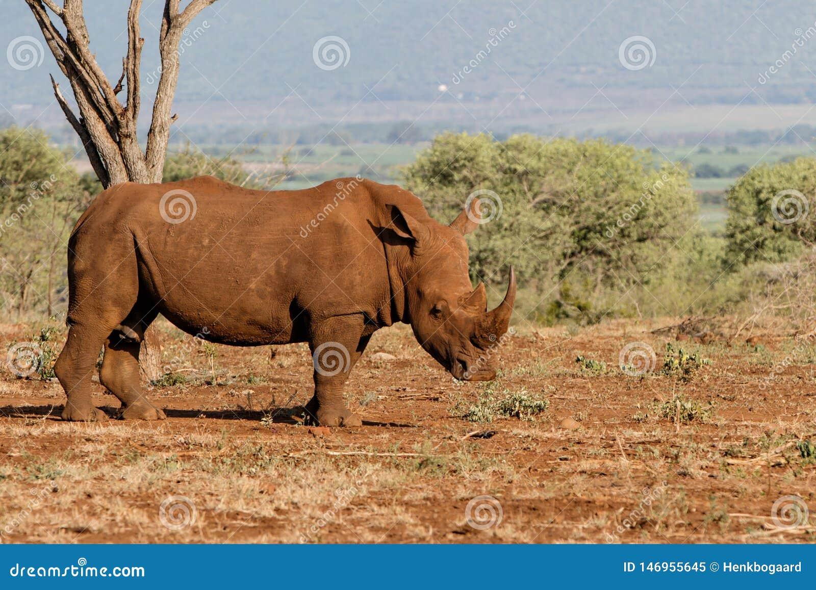 Rhinoc?ros blanc en Afrique du Sud