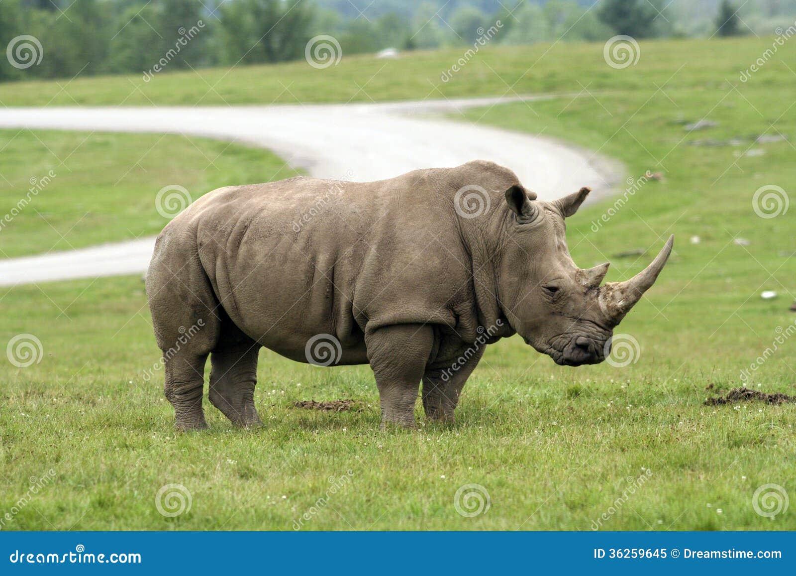 Download Rhinoceros stock image. Image of face, conservation, safari - 36259645