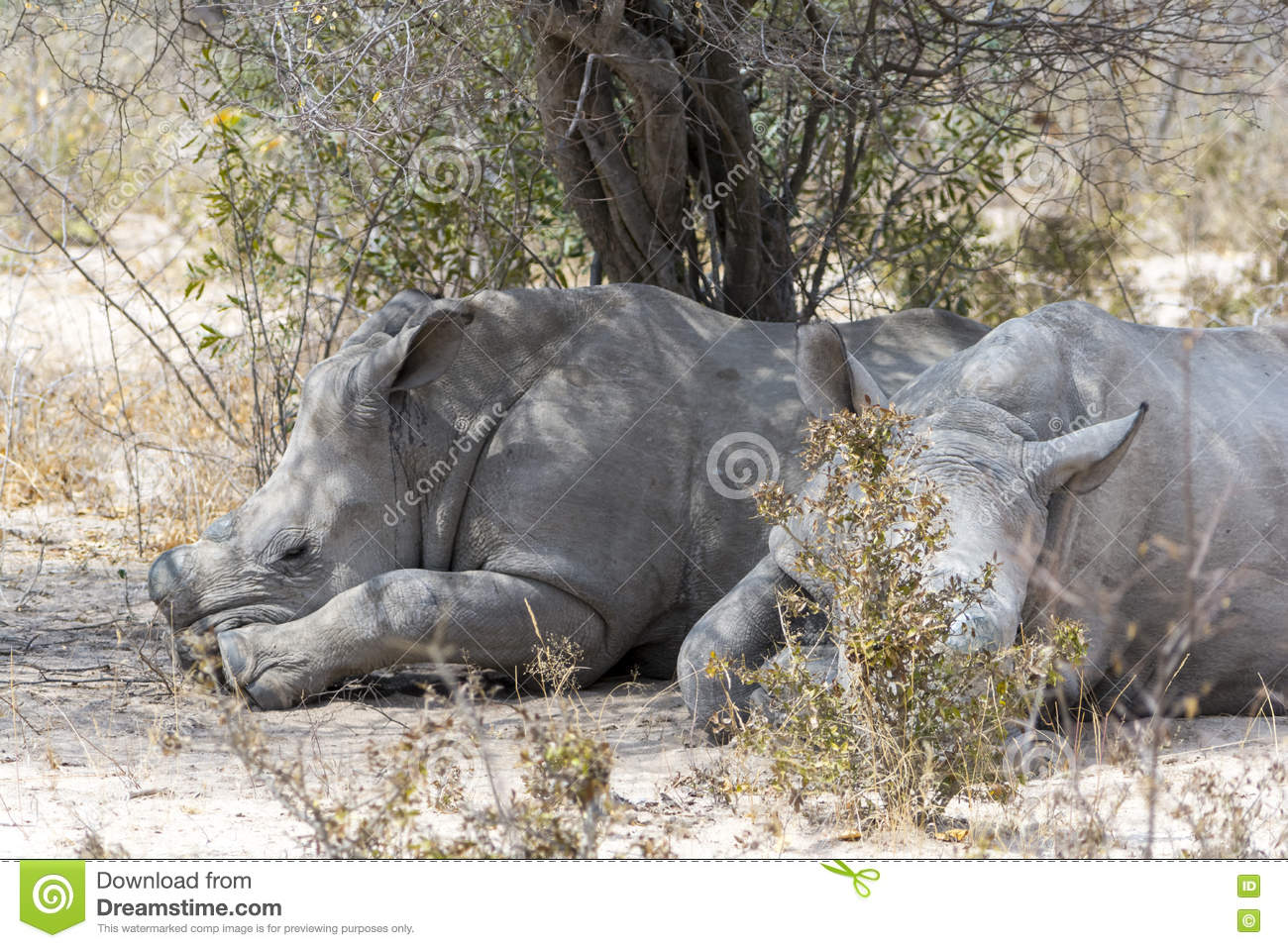 rhinoceros and kruger national park Kruger national park relocated four rhinoceroses from a high-risk poaching area to a safer zone as part of ongoing strategic rhinoceros management plan stefan heunis/afp/getty other than that .