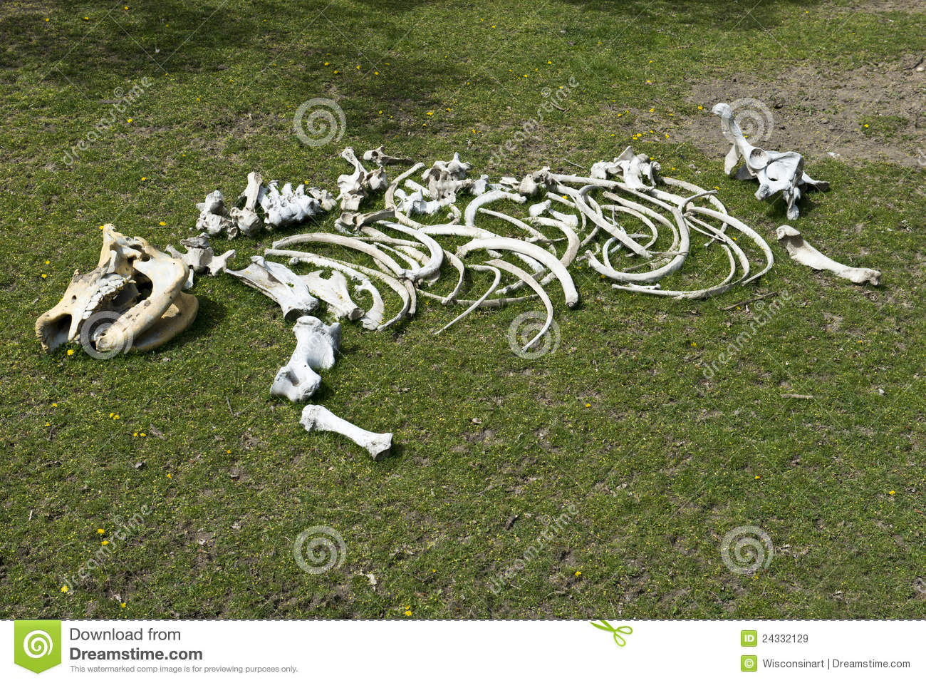 skeleton bones. The rhino is an endangered species. The rhino ...