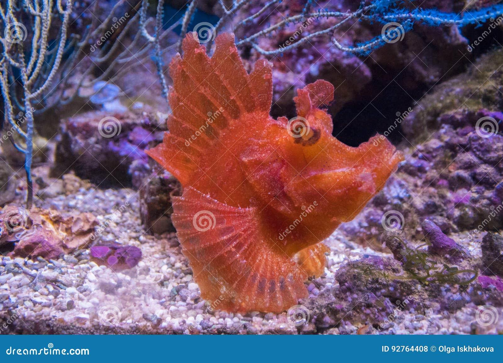 Rhinopias eschmeyeri. Shaggy fish-angler.
