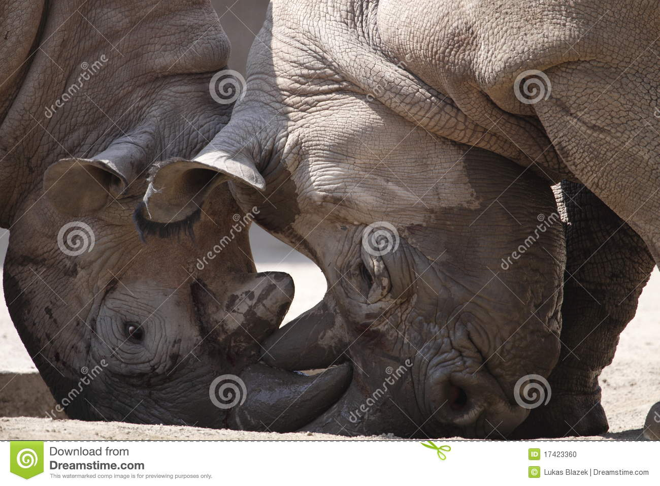 Rhinos fight