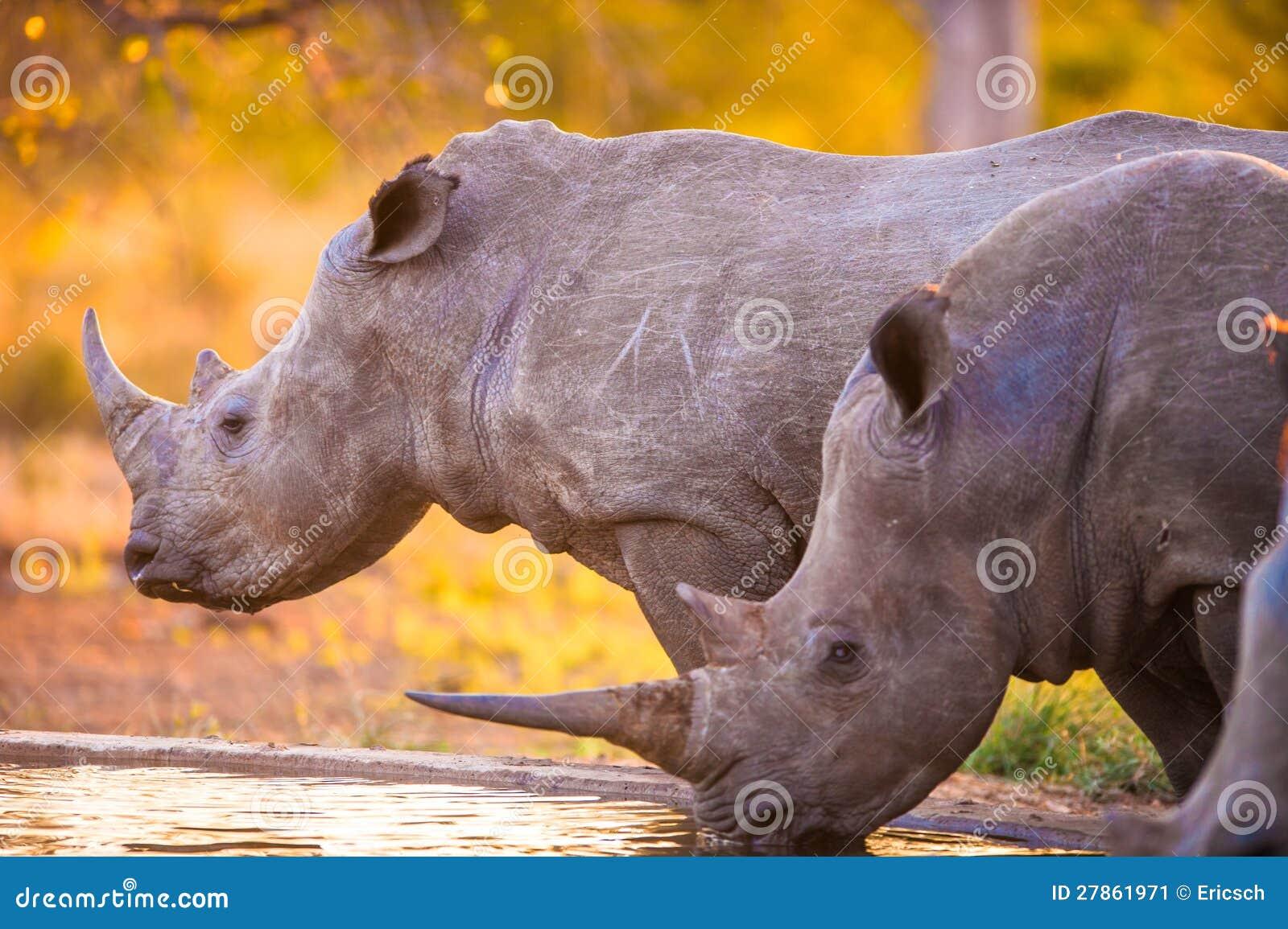 Rhinos przy podlewanie dziurą