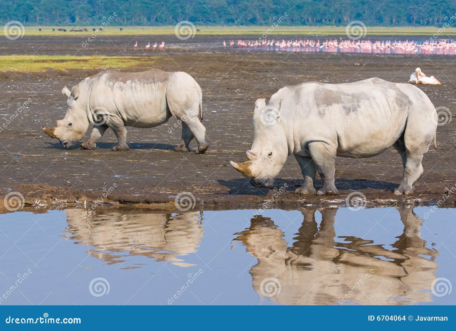 Rhinos w jeziornym nakuru, Kenya