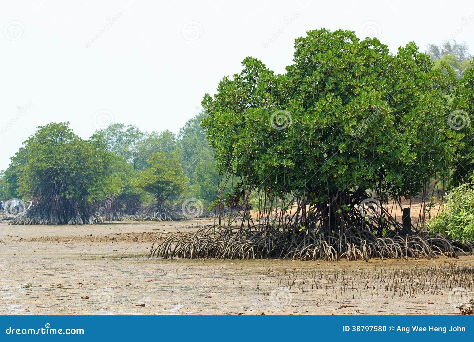 Rhizophoramangrove Mudflats