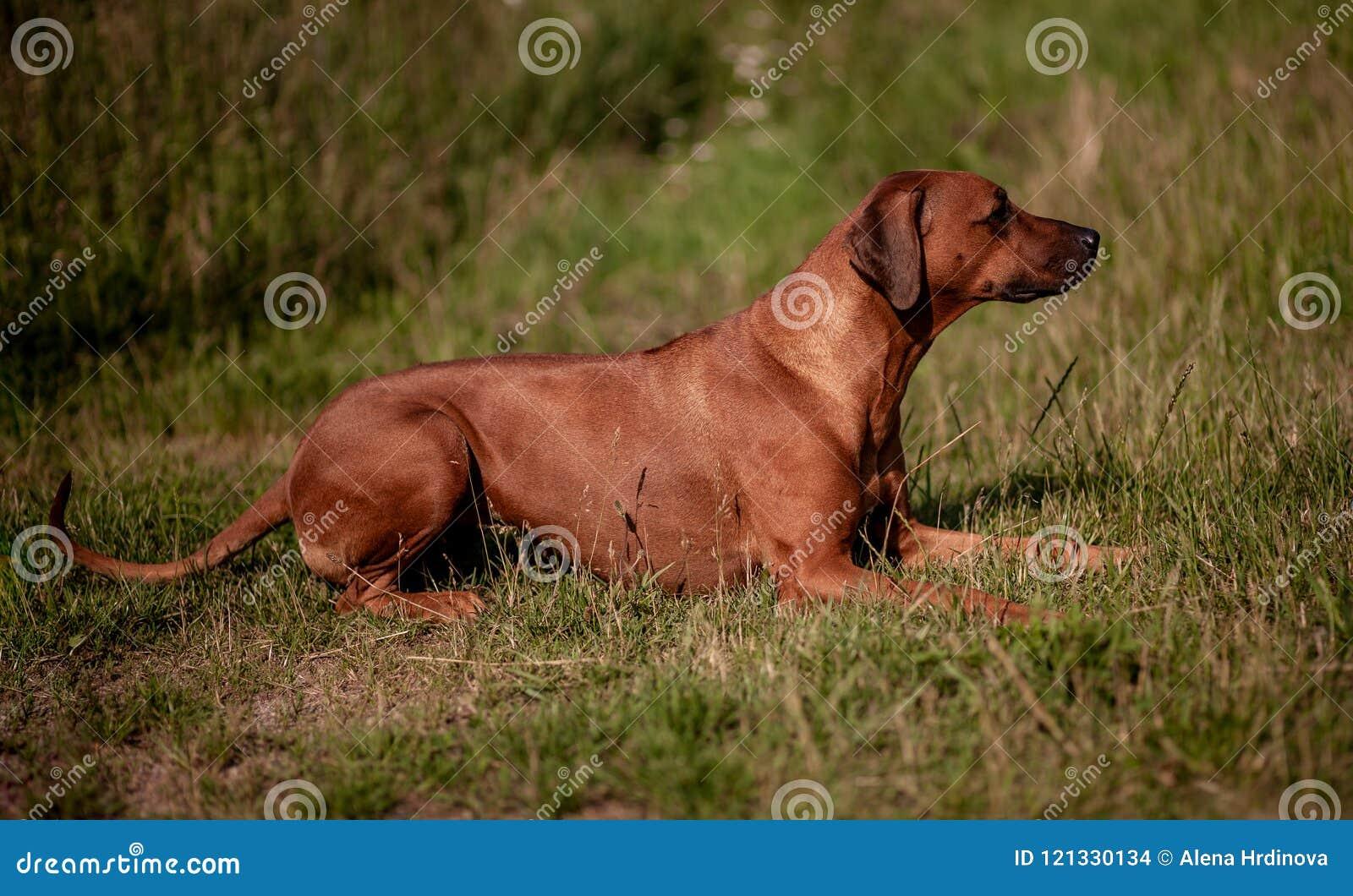 Rhodesian Ridgeback女性-尾随说谎在草