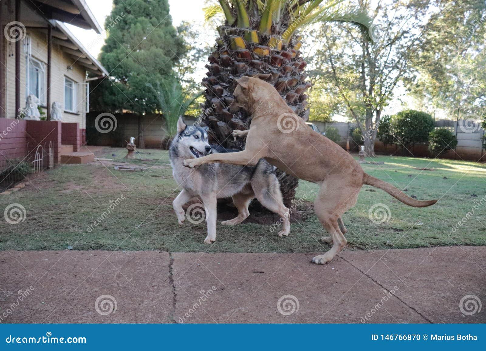Rhodesian Ridgeback, das auf einen Schlittenhund sich st?rzt
