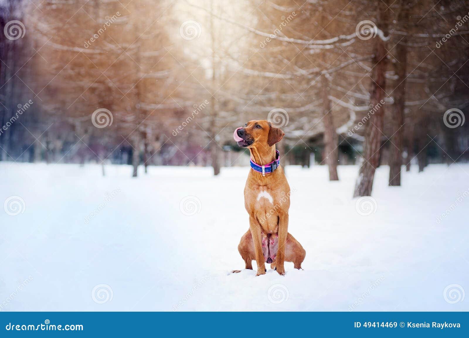 Download Rhodesian Ridgeback, Das Auf Winterhintergrund Sitzt Stockbild - Bild von frost, wald: 49414469