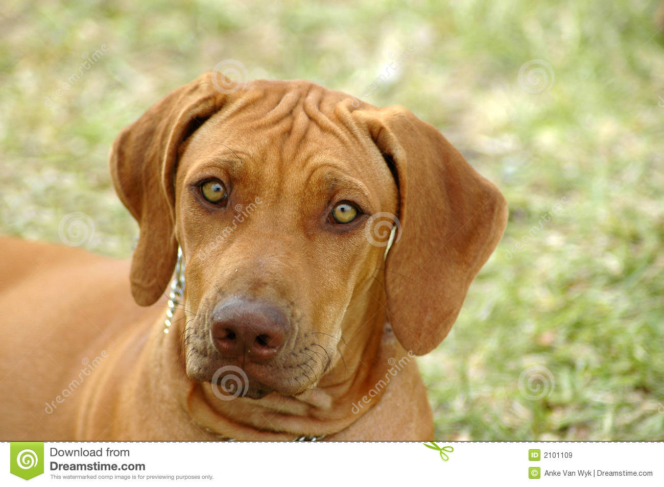 Dog Breeds With Amber Eyes