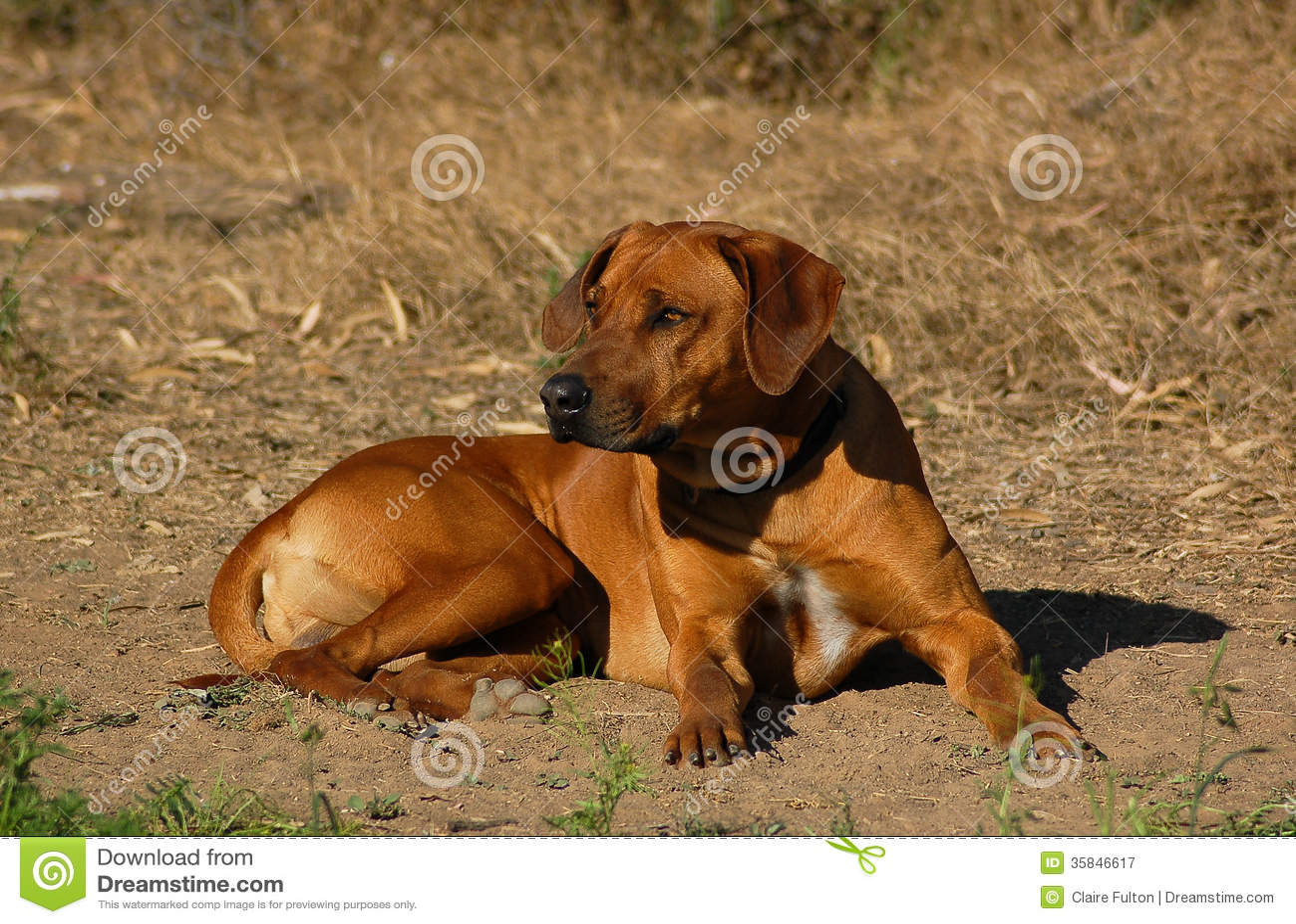 African Lion Rhodesian Ridgeback Dog