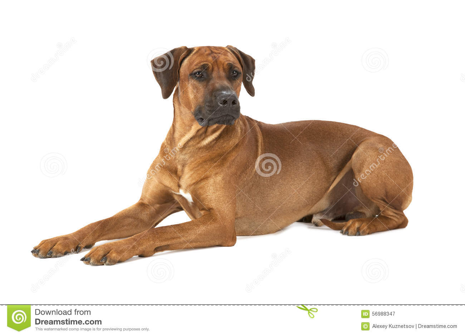 Rhodesian Ridgeback dog on a white background