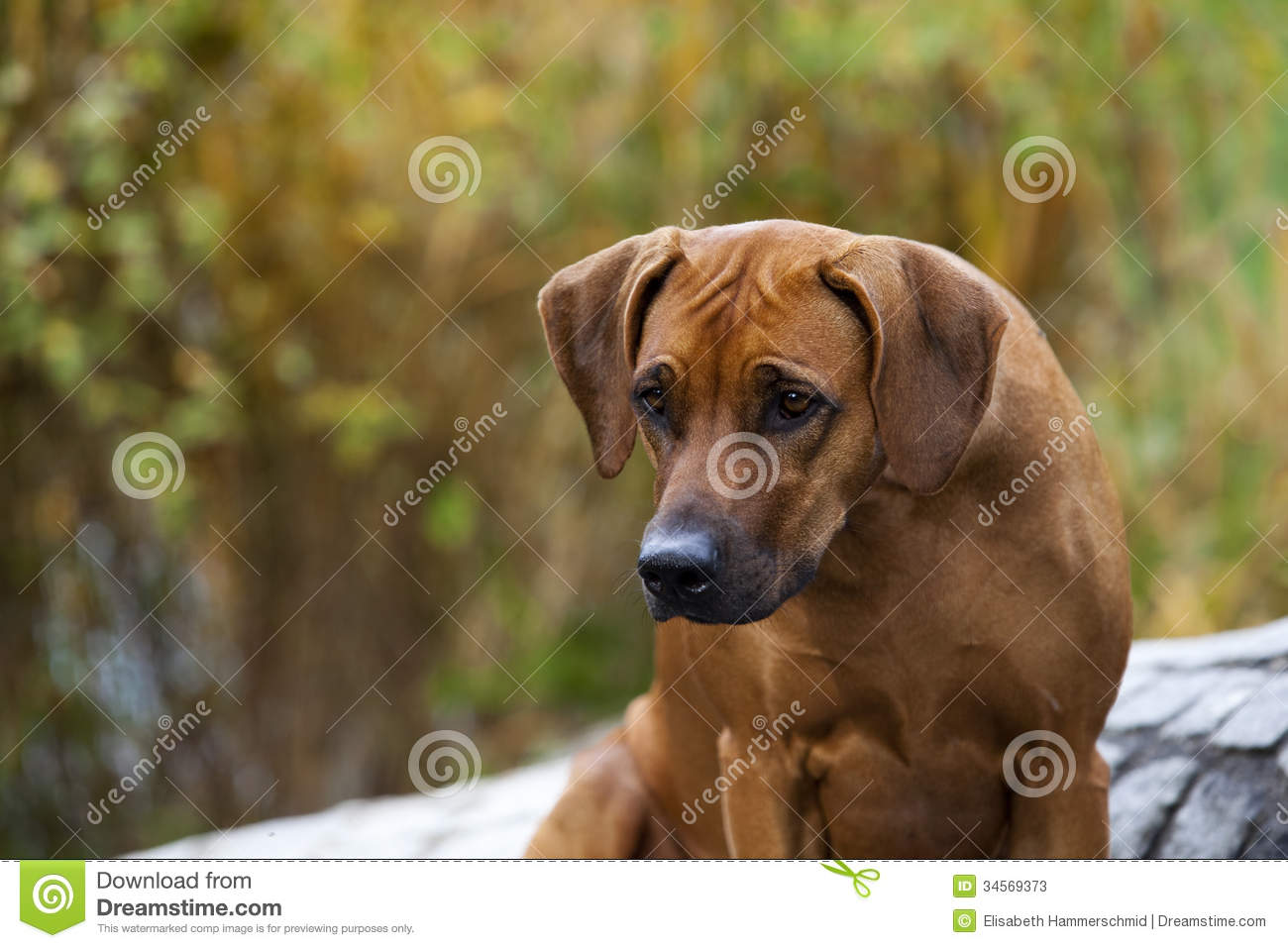 Top Rhodesian Ridgeback Black Adorable Dog - rhodesian-ridgeback-female-nice-looking-black-nosed-femlae-nice-expression-head-watching-other-dog-outdoors-34569373  Image_77470  .jpg