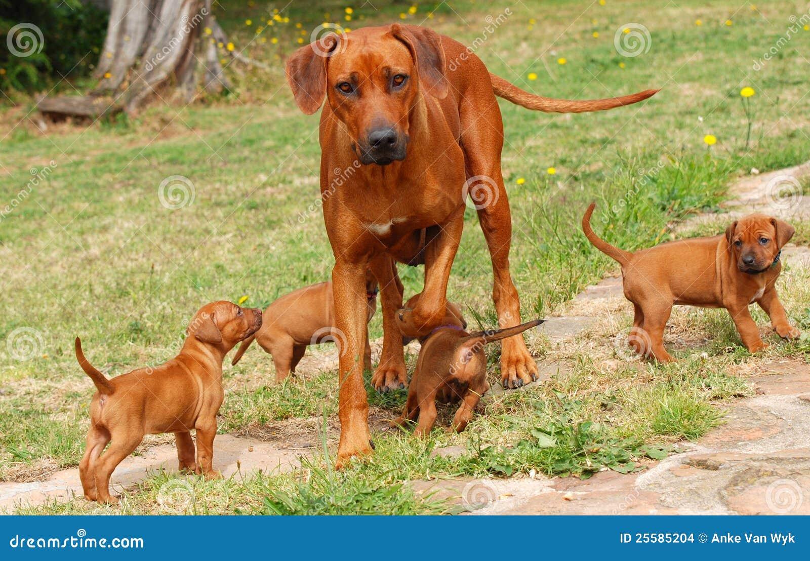 Rhodesian Ridgeback Mit Welpen Stockfoto Bild Von Hunde