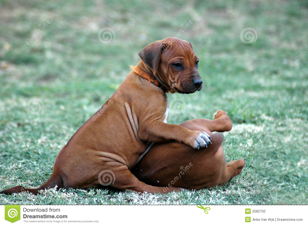 Must see Rhodesian Ridgeback Black Adorable Dog - rhodesian-ridgeback-puppies-2582702  Pictures_714187  .jpg