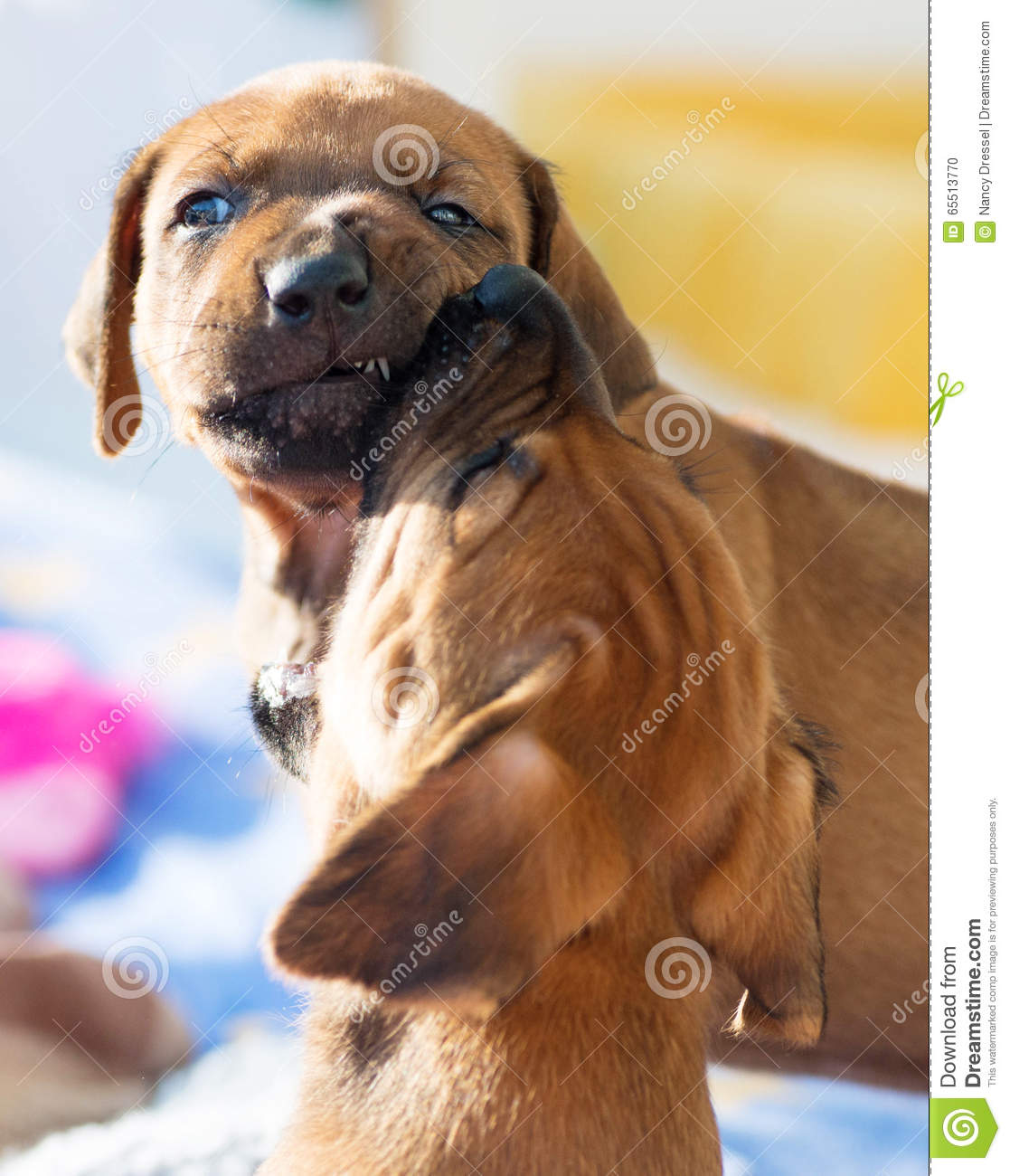 Rhodesian Ridgeback Puppies Playing Stock Photo