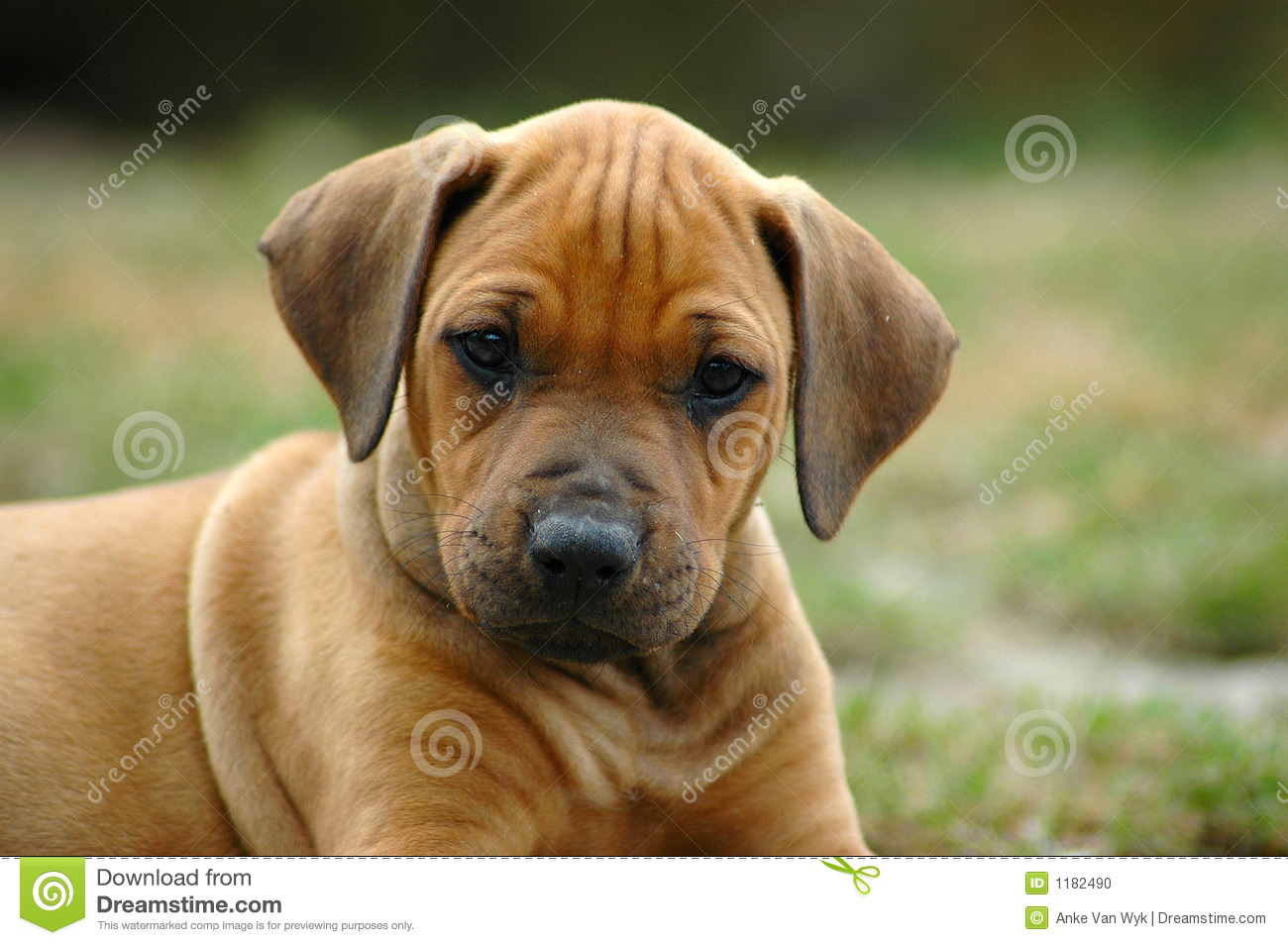 young Rhodesian Ridgeback dog puppy watching the other puppies of ...