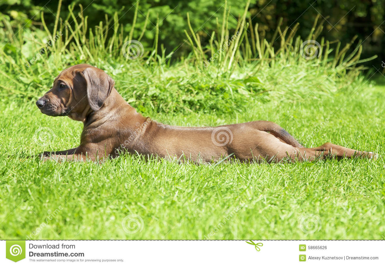 Rhodesian Ridgeback puppy dog outdoors