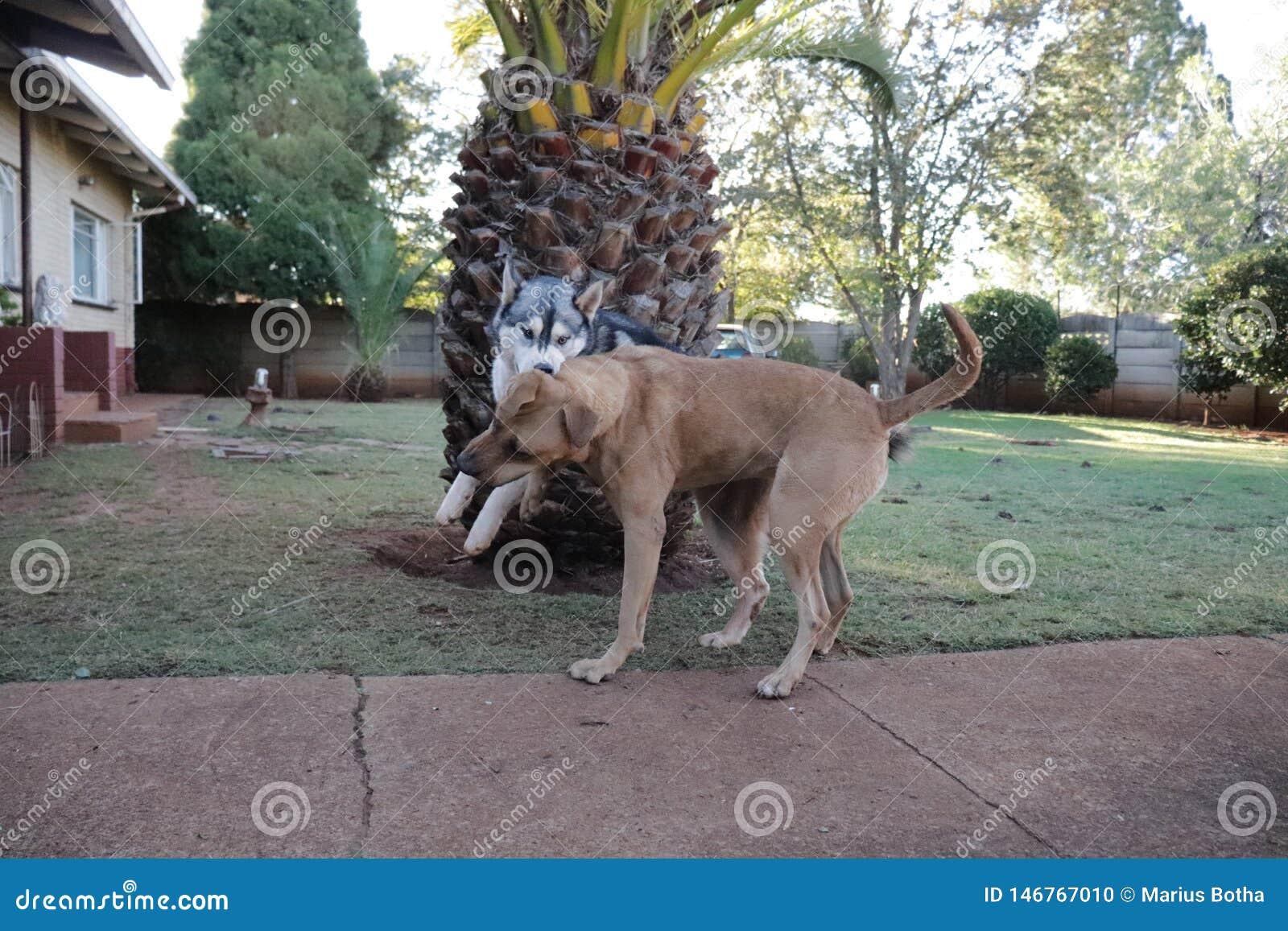 Rhodesian Ridgeback und Husky Enjoying Playtime Together