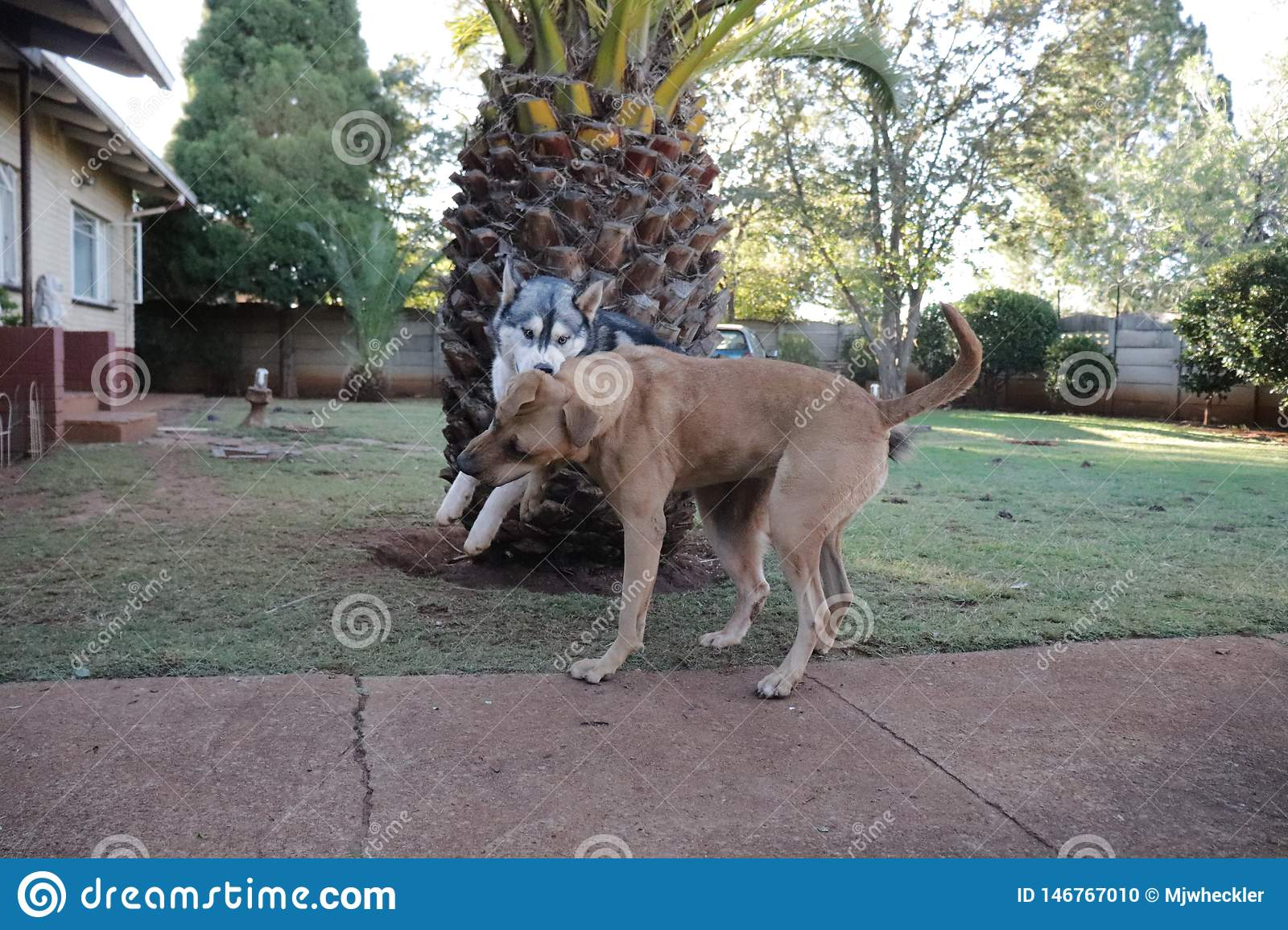 Rhodesian Ridgeback y Husky Enjoying Playtime Together