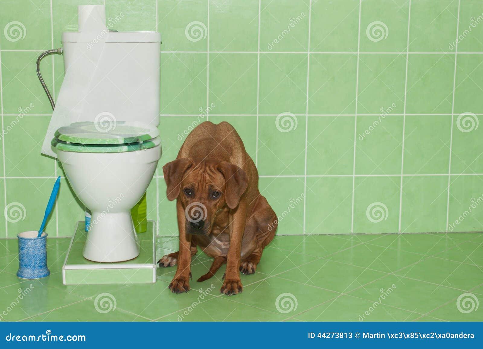 Rhodesian ridgeback zitting in de badkamers met toilet