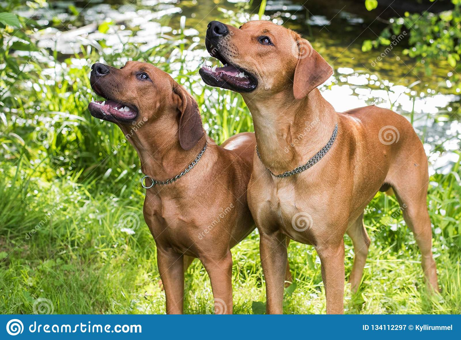 Rhodesian ridgebacks by the river