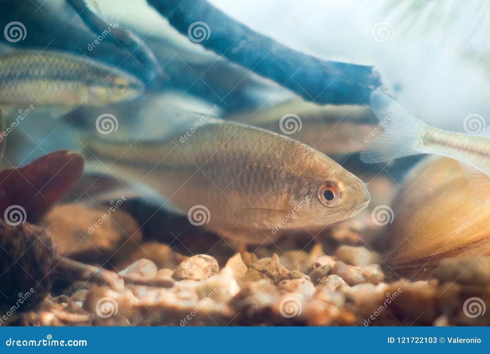 Rhodeus amarus, bitterling europeo, pesce di acqua dolce, foto della natura