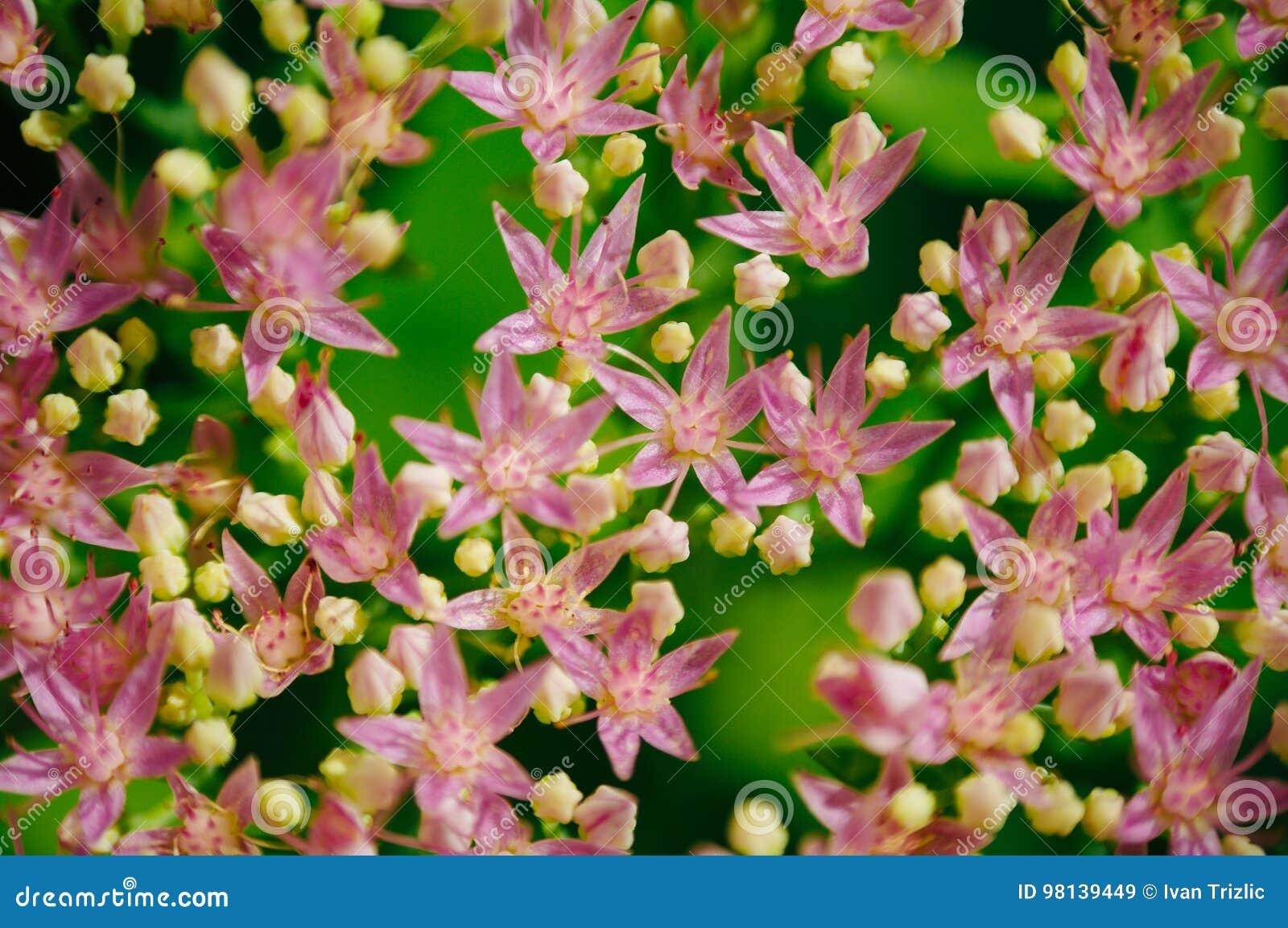 Rhodiola rosea kwiecenie, leczniczej rośliny zbliżenia makro- strzał