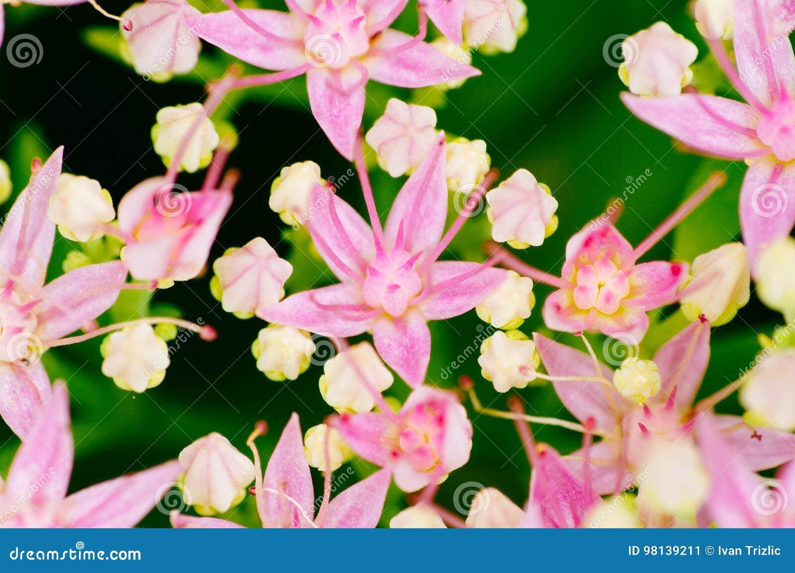 Rhodiola roseablomning, skott för medicinalväxtcloseupmakro