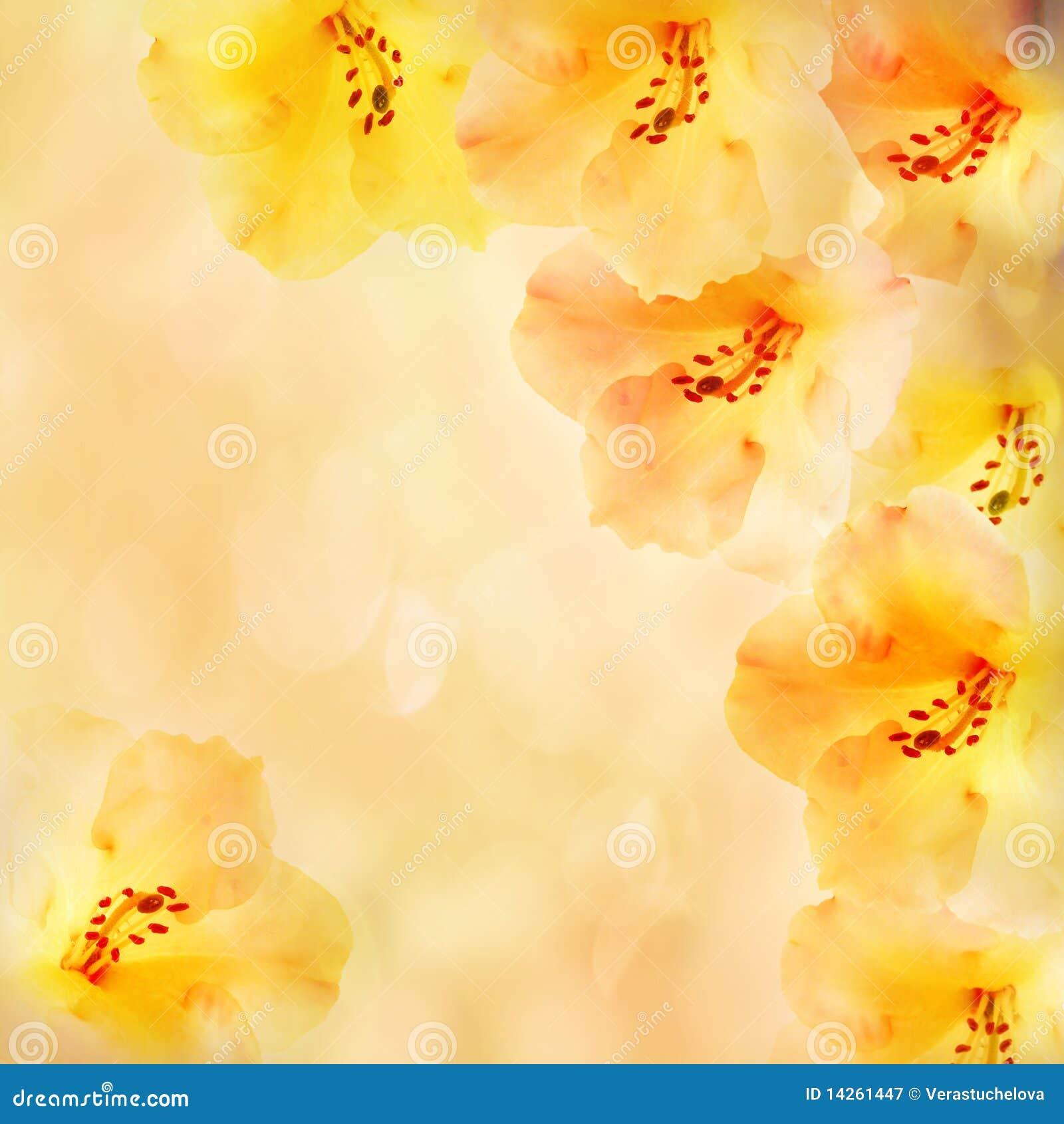 Rhododendron εικόνων λουλουδιών τ&r
