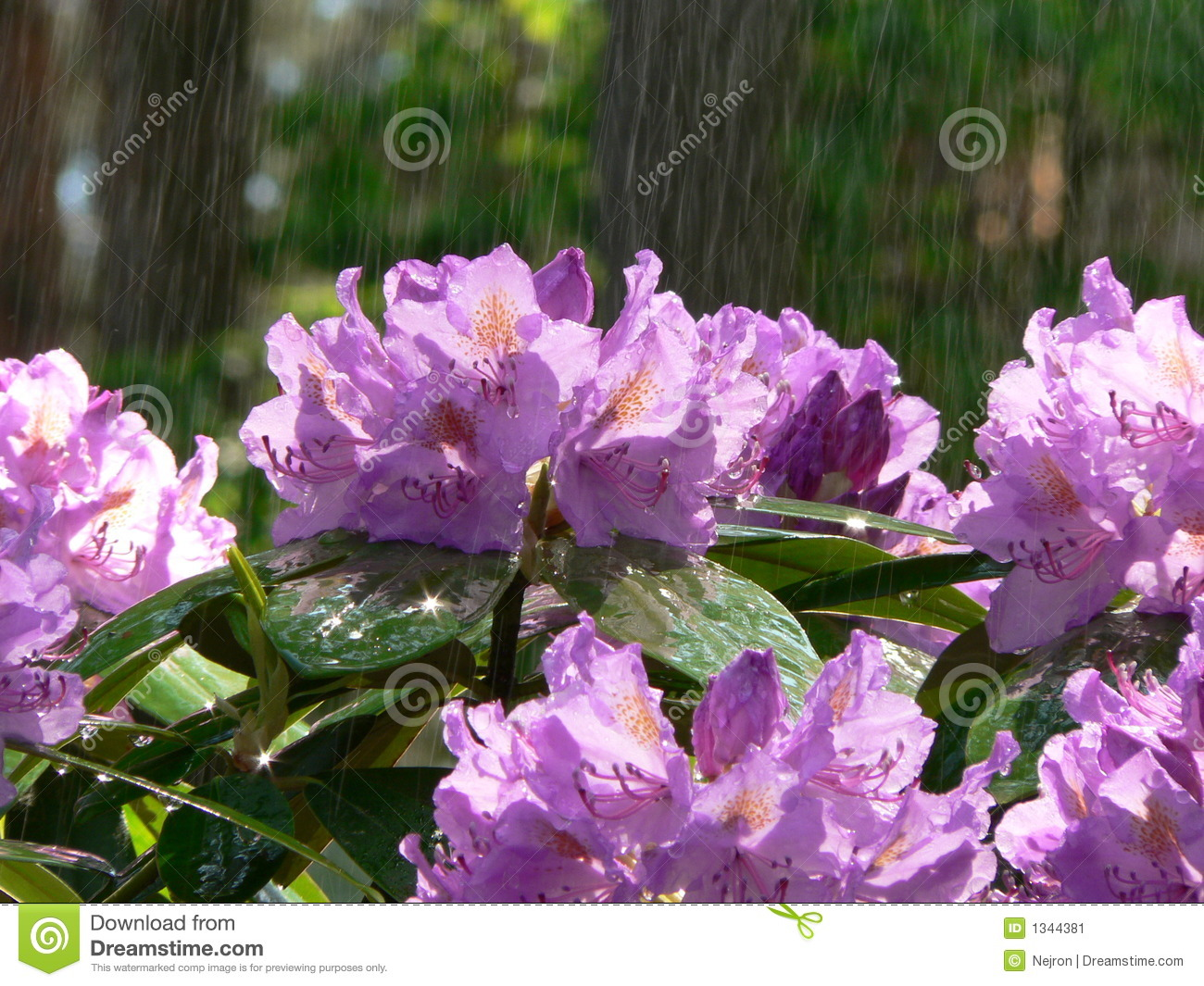 Download Rhododendron stock image. Image of flowering, flora, plant - 1344381
